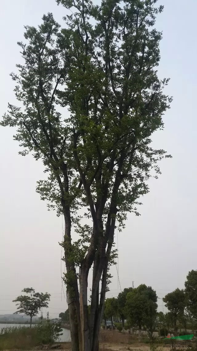 榔榆和榉树的区别